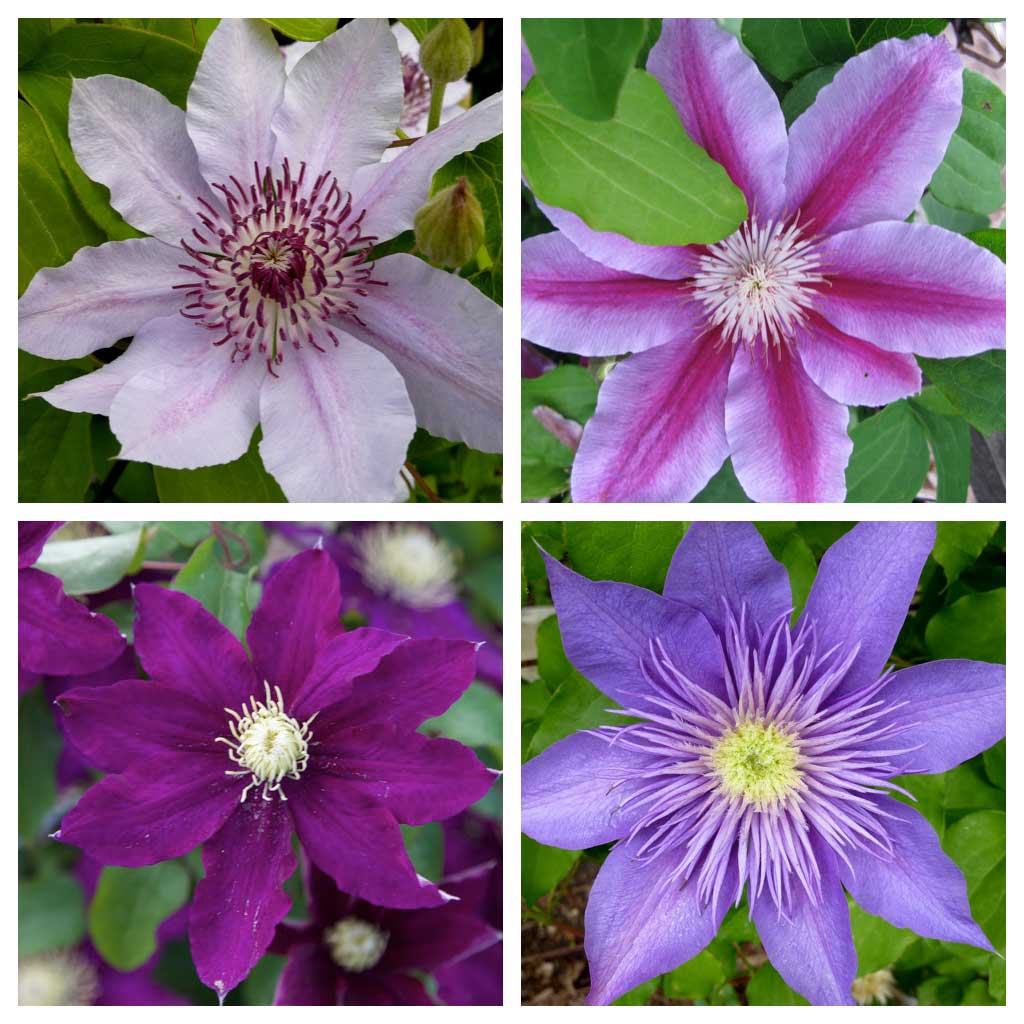 Clematis-flowers-in-four-colors-and-styles - Longfield Gardens