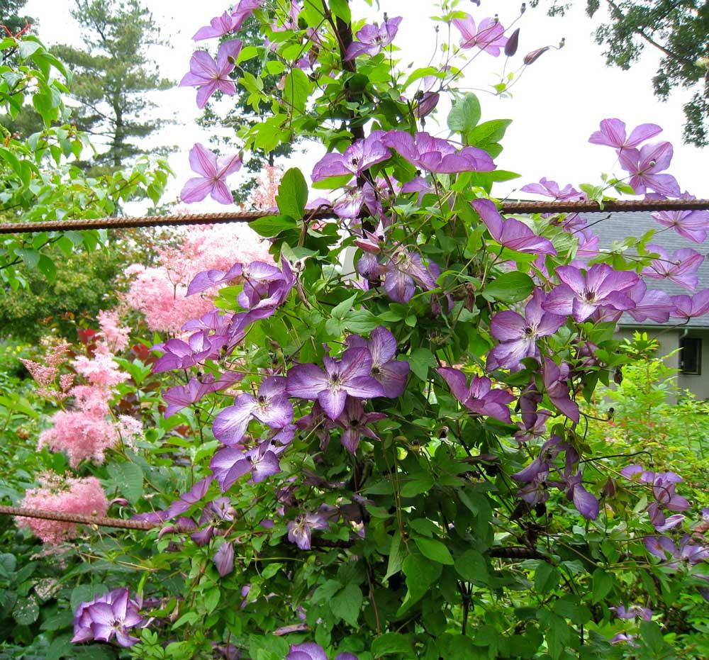 Clematis-Venosa-Violacea - Longfield Gardens