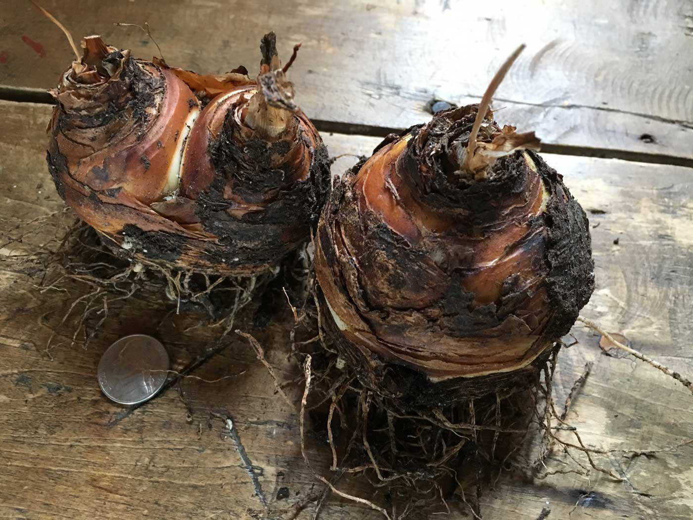 Eucomis-bulbs-Longfield-Gardens