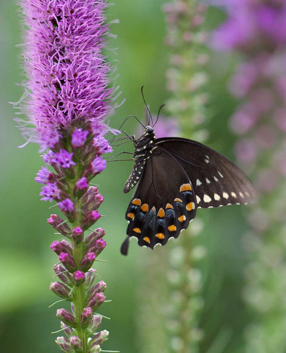 Liatris flowers with swallowtail butterfly - Longfield Gardens