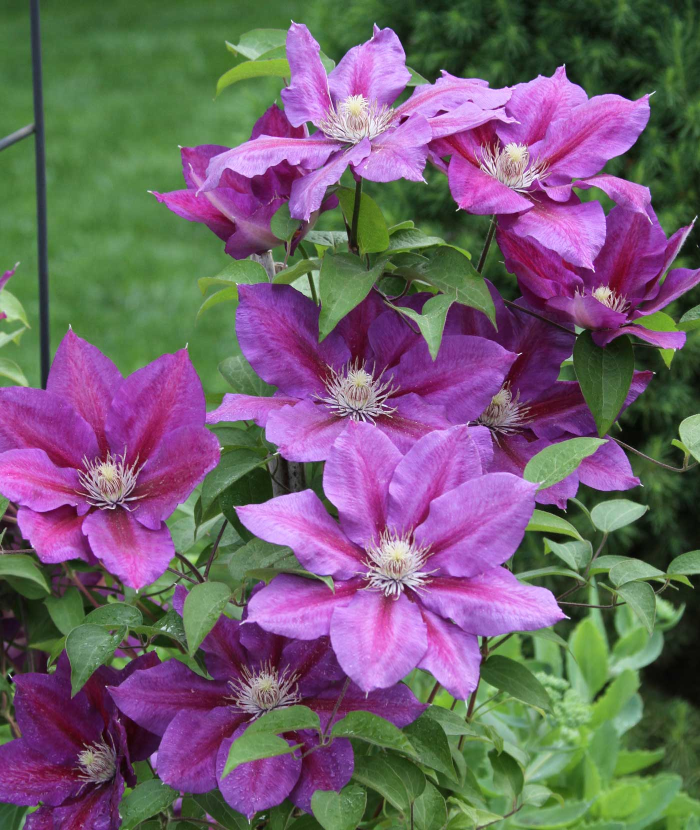 Pink-and-Red-Clematis - Longfield Gardens
