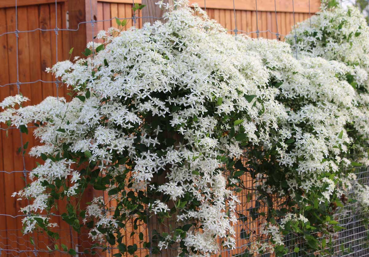 Sweet-Autumn-Clematis - Longfield Gardens