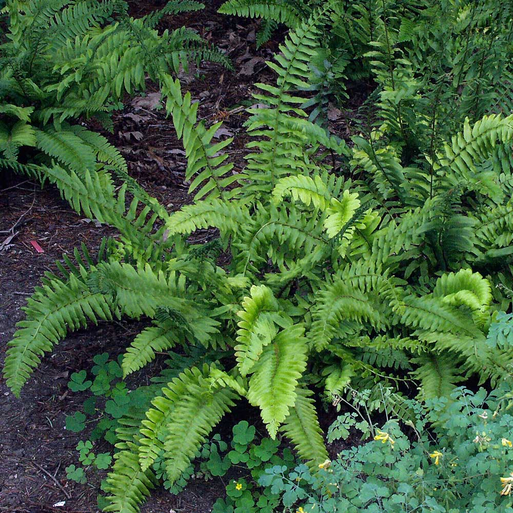 christmas ferns - Longfield Gardens