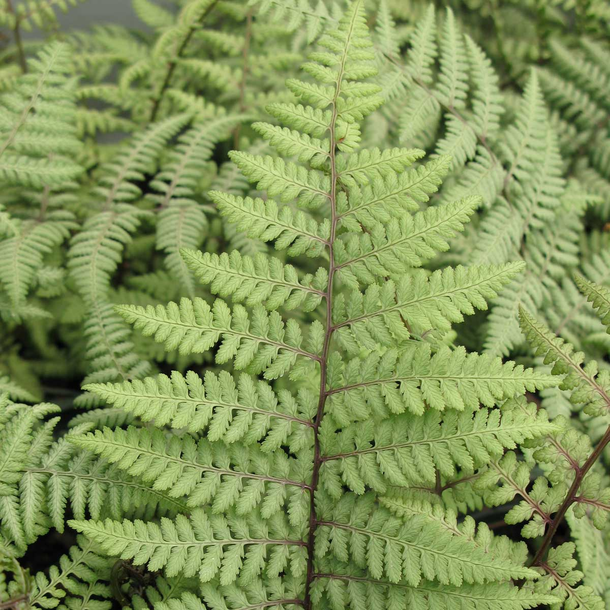 ghost ferns - Longfield Gardens
