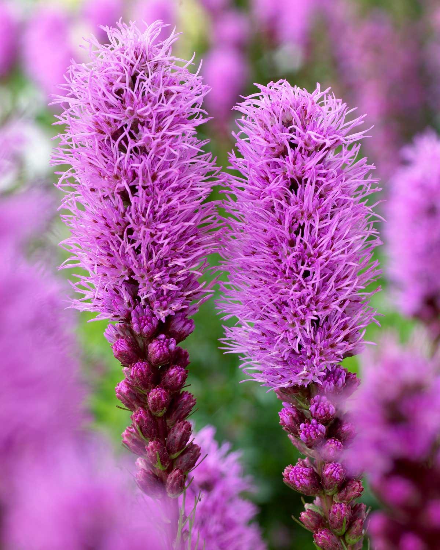 Liatris spicata flowers - Longfield Gardens