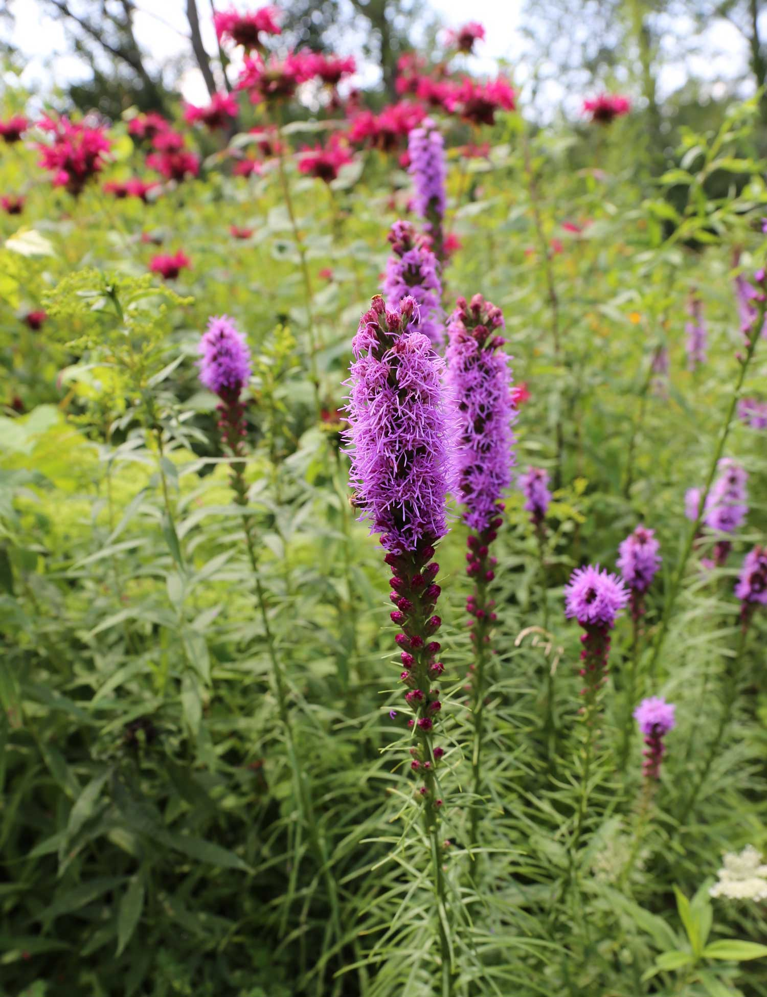 Liatris spicata naturalized in a meadow - Longfield Gardens