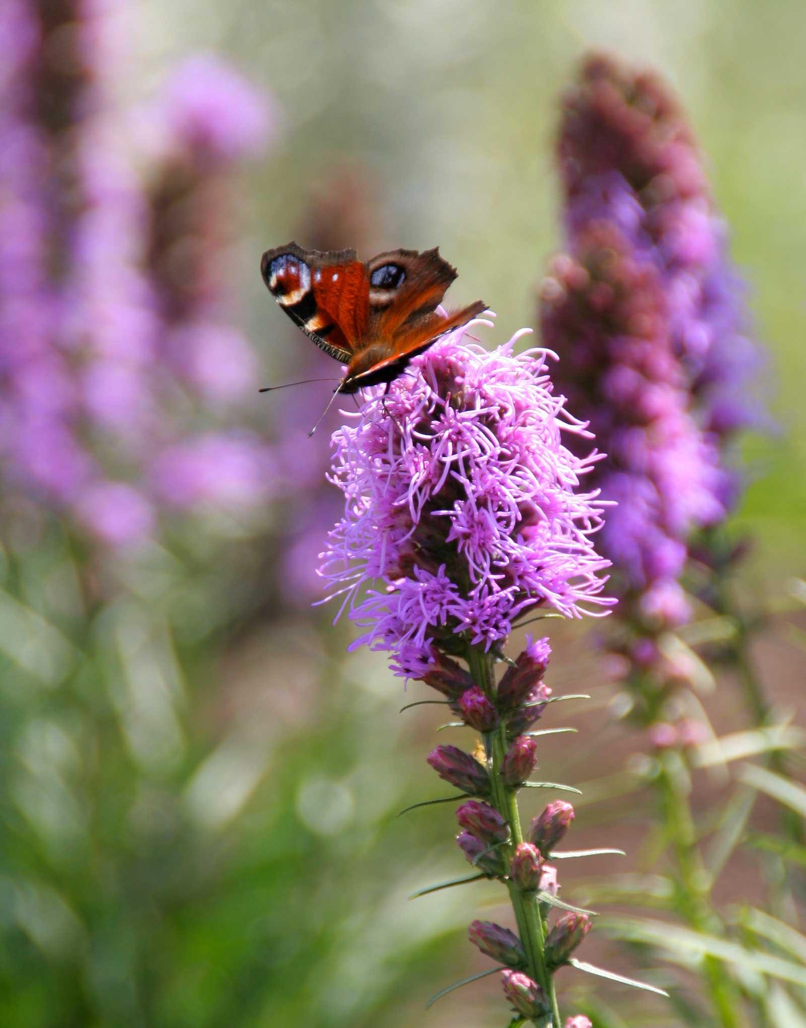 Liatris spicata flowers with butterfly - Longfield Gardens