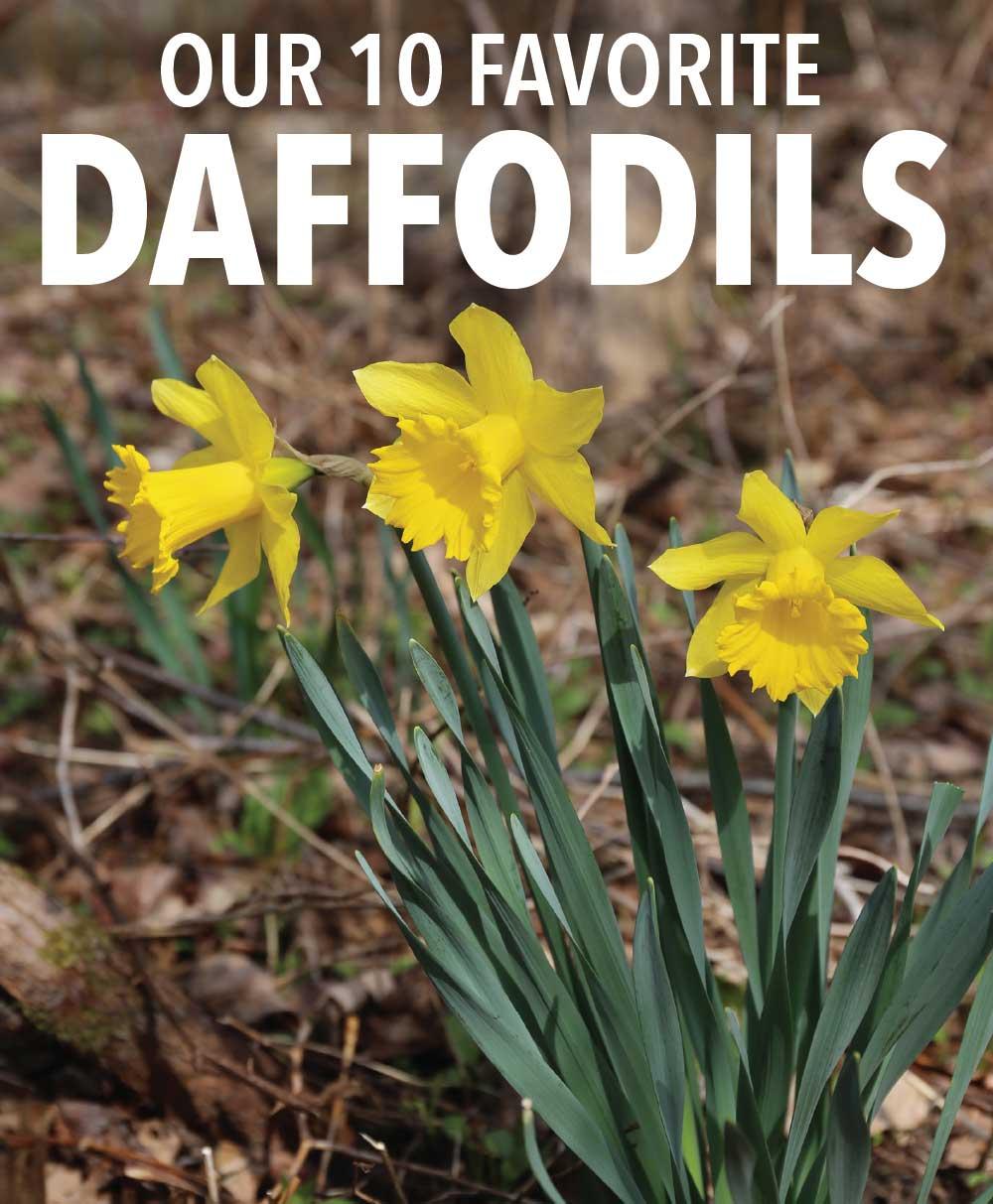 10-Favorite-Daffodils-Longfield-Gardens