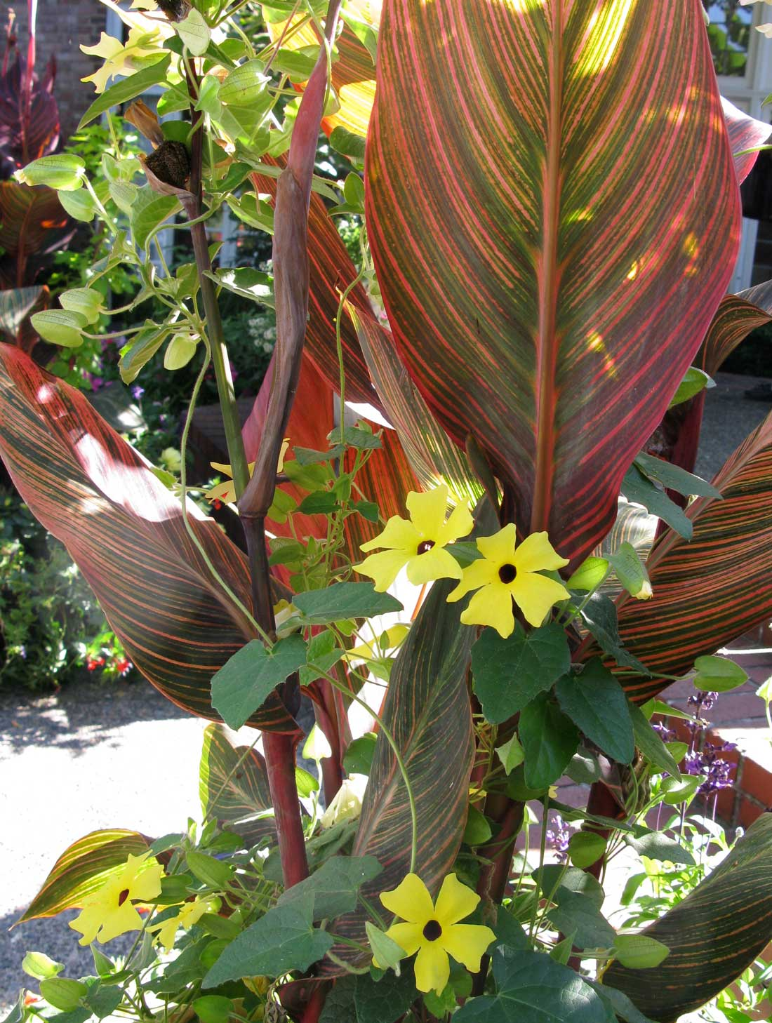 Canna-Tropicana-with-Thunbergia—Longfield-Gardens