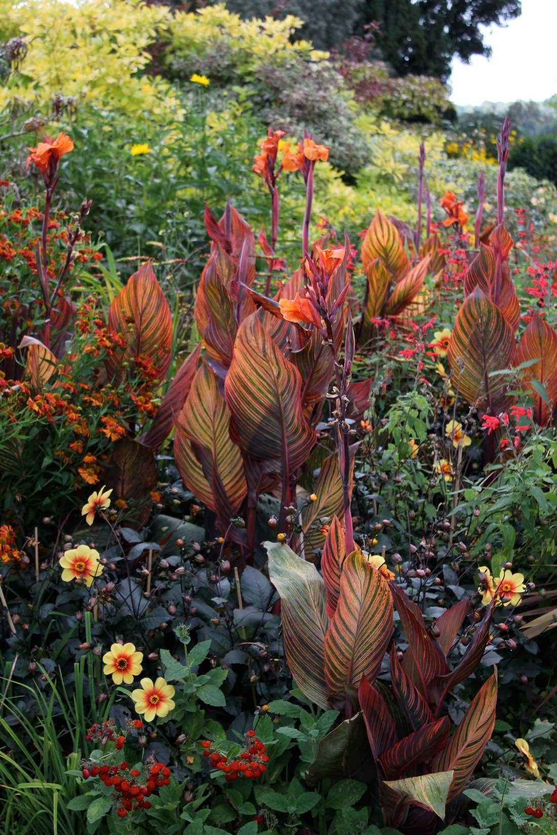 Cannas-in-Perennial-Border—Longfield-Gardens