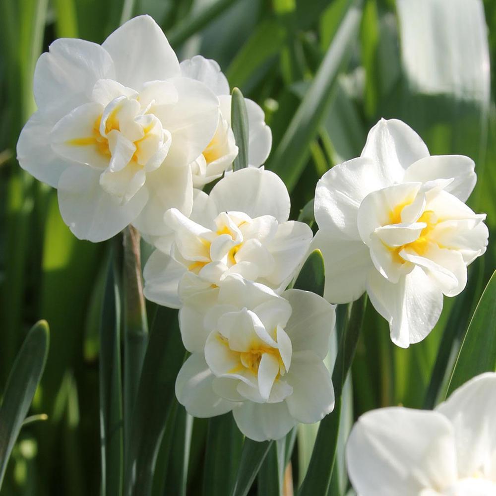 Daffodil Cheerfulness - Longfield Gardens