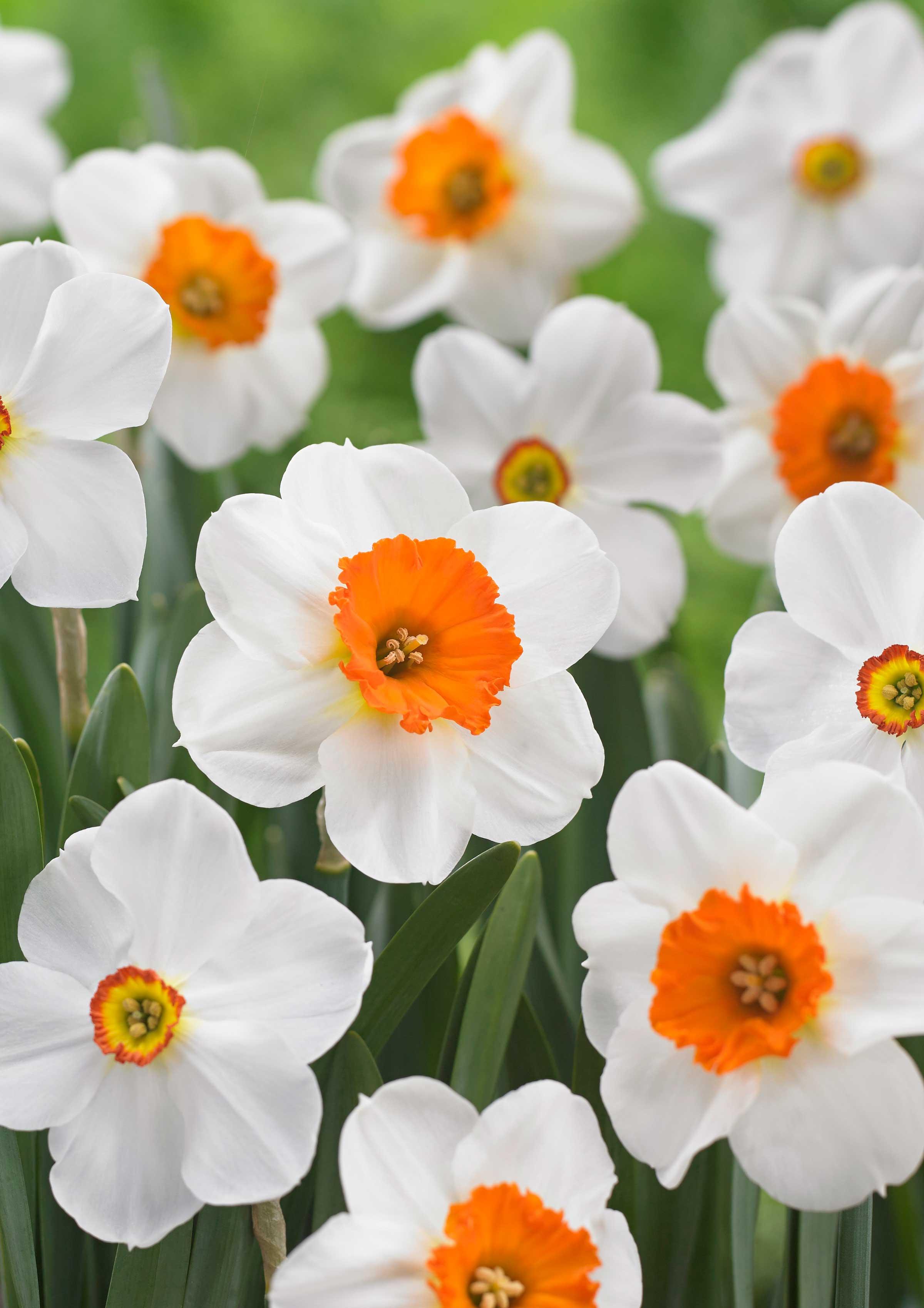 Daffodil-Barrett-Browning—Longfield-Gardens