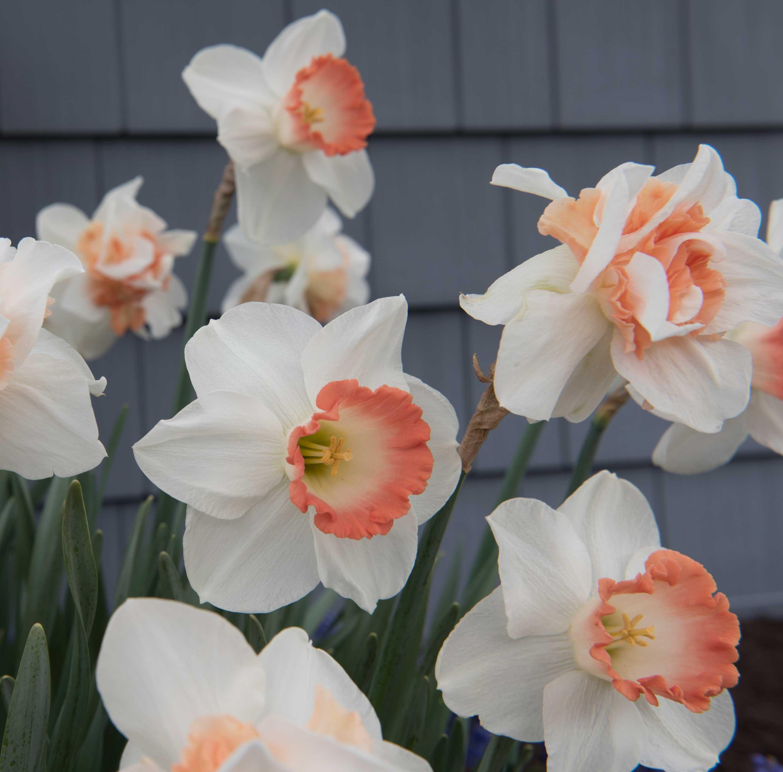 Daffodil-Pink-Pride—Longfield-Gardens