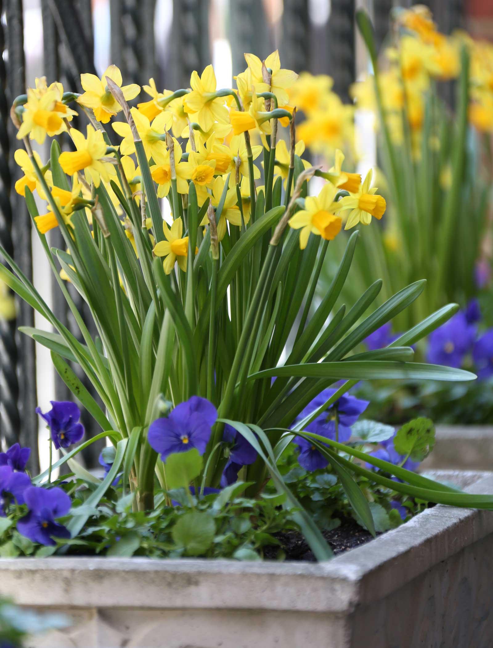 Daffodil-Tete-a-Tete-Longfield-Gardens