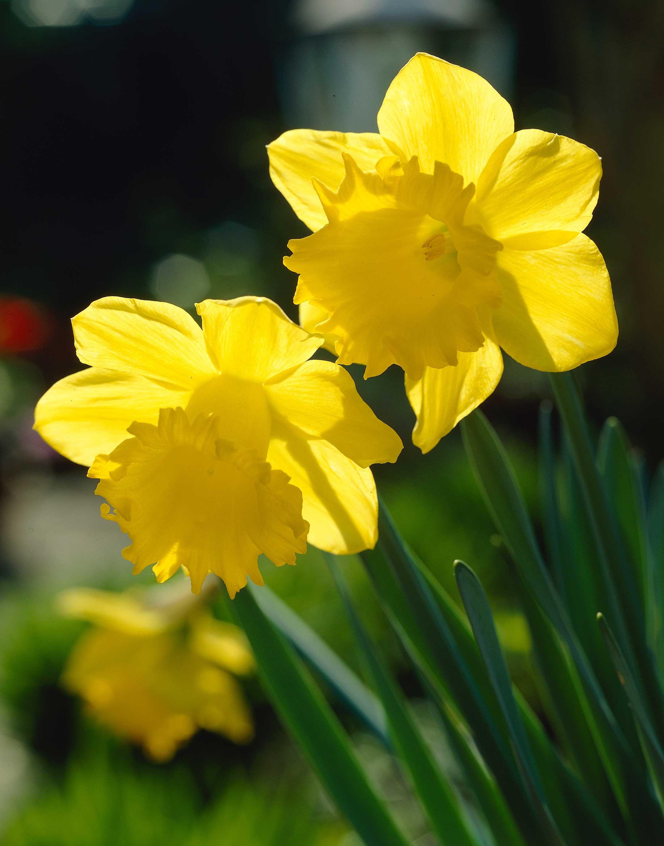 Yellow-Trumpet-Daffodil