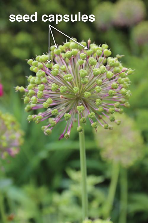 Ornamental-Alliums-Seed-Capsules - Longfield Gardens
