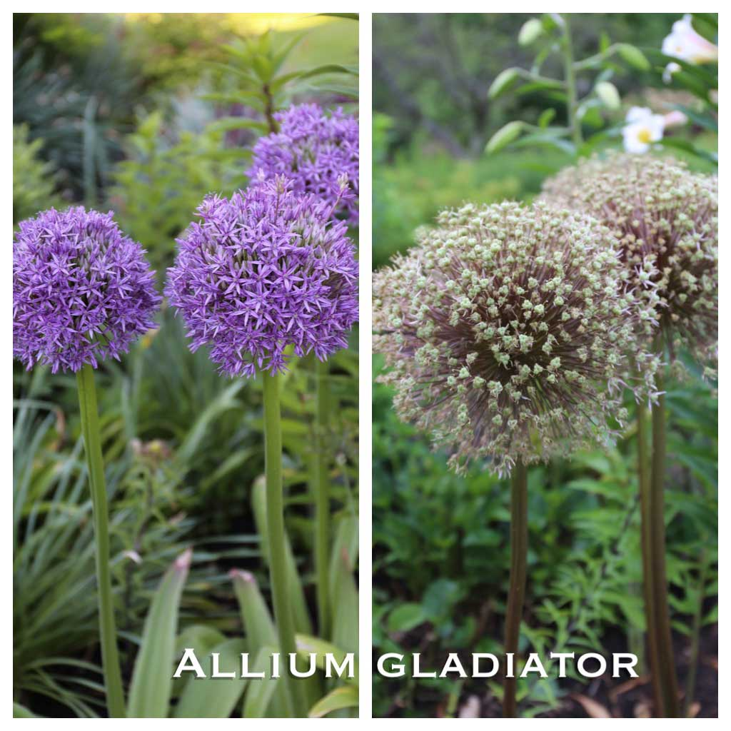 Ornamental Alliums-Gladiator-Seed-Heads - Longfield-Gardens
