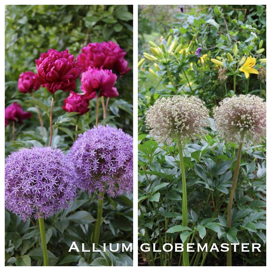 Ornamental Alliums-Globemaster-Seed-Heads - Longfield-Gardens