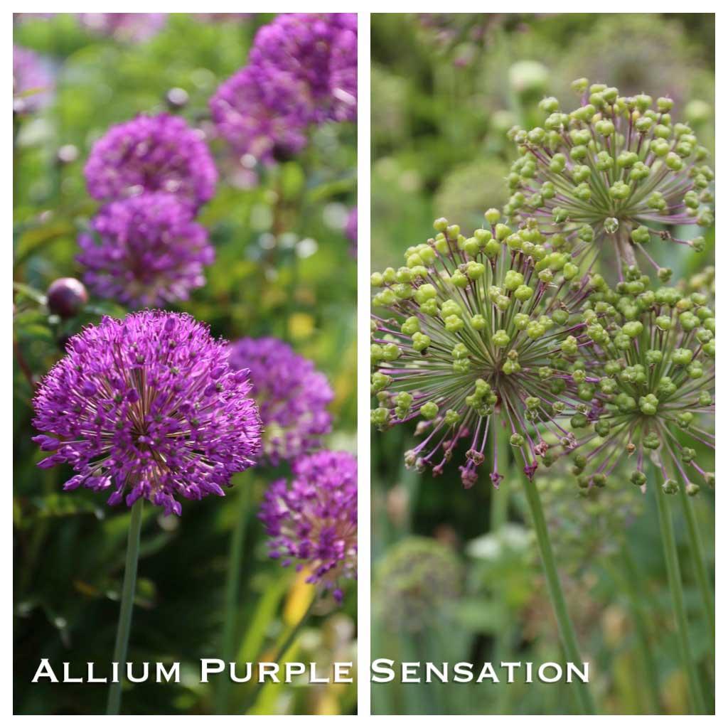 Ornamental Alliums-Purple-Sensation-Seed-Heads - Longfield-Gardens