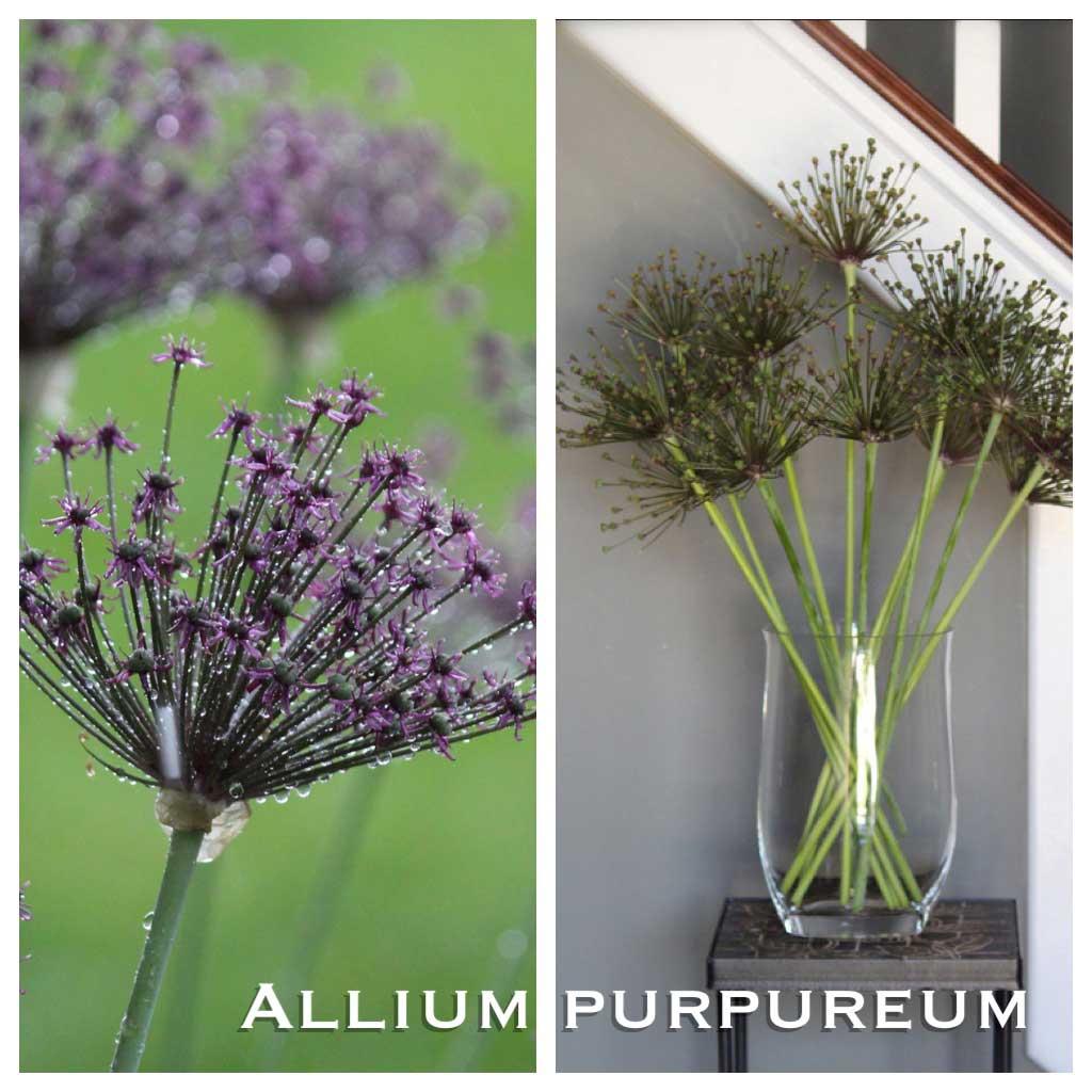 Ornamental Alliums-Purpureum-Seed-Heads - Longfield-Gardens