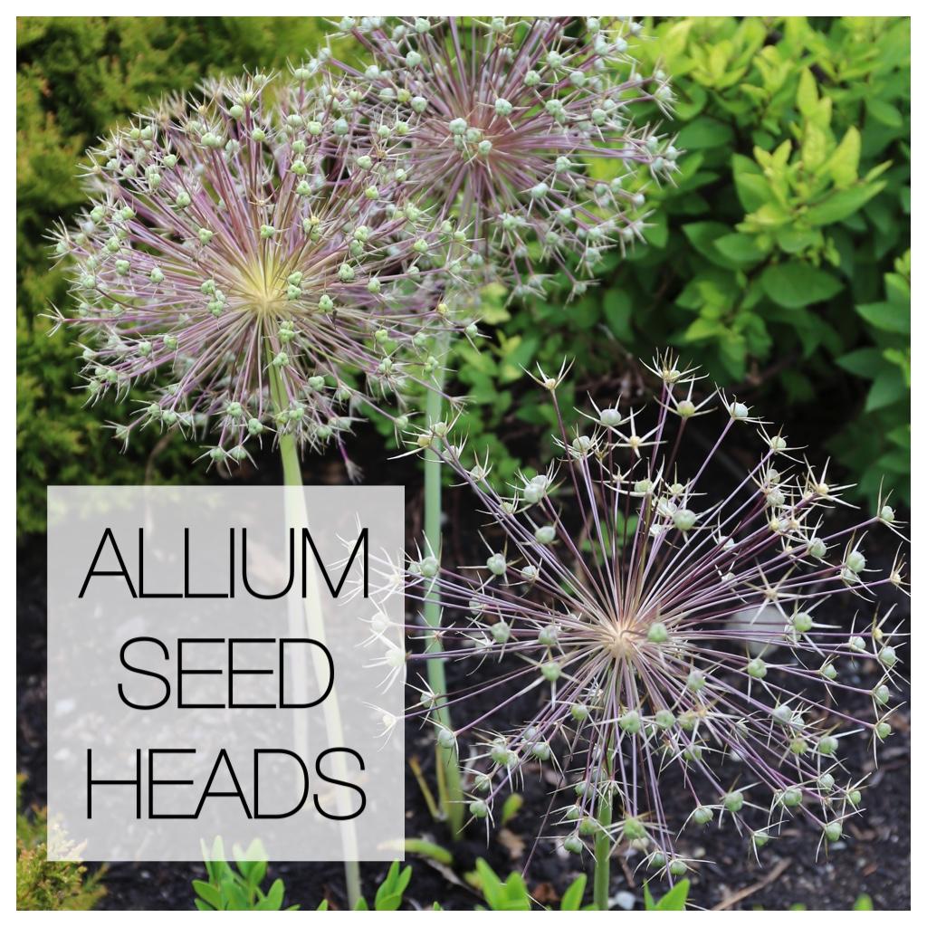 Ornamental Alliums seed heads - Longfield Gardens