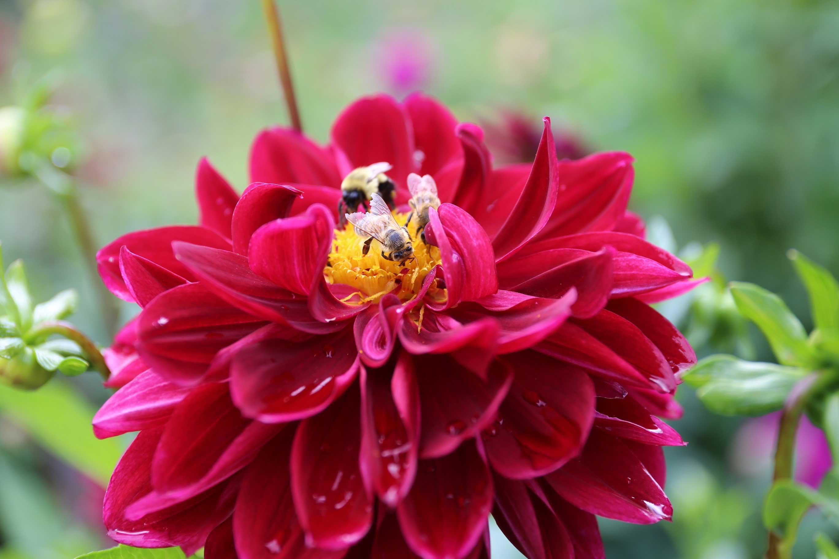 Dahlia with Bees – Longfield Gardens