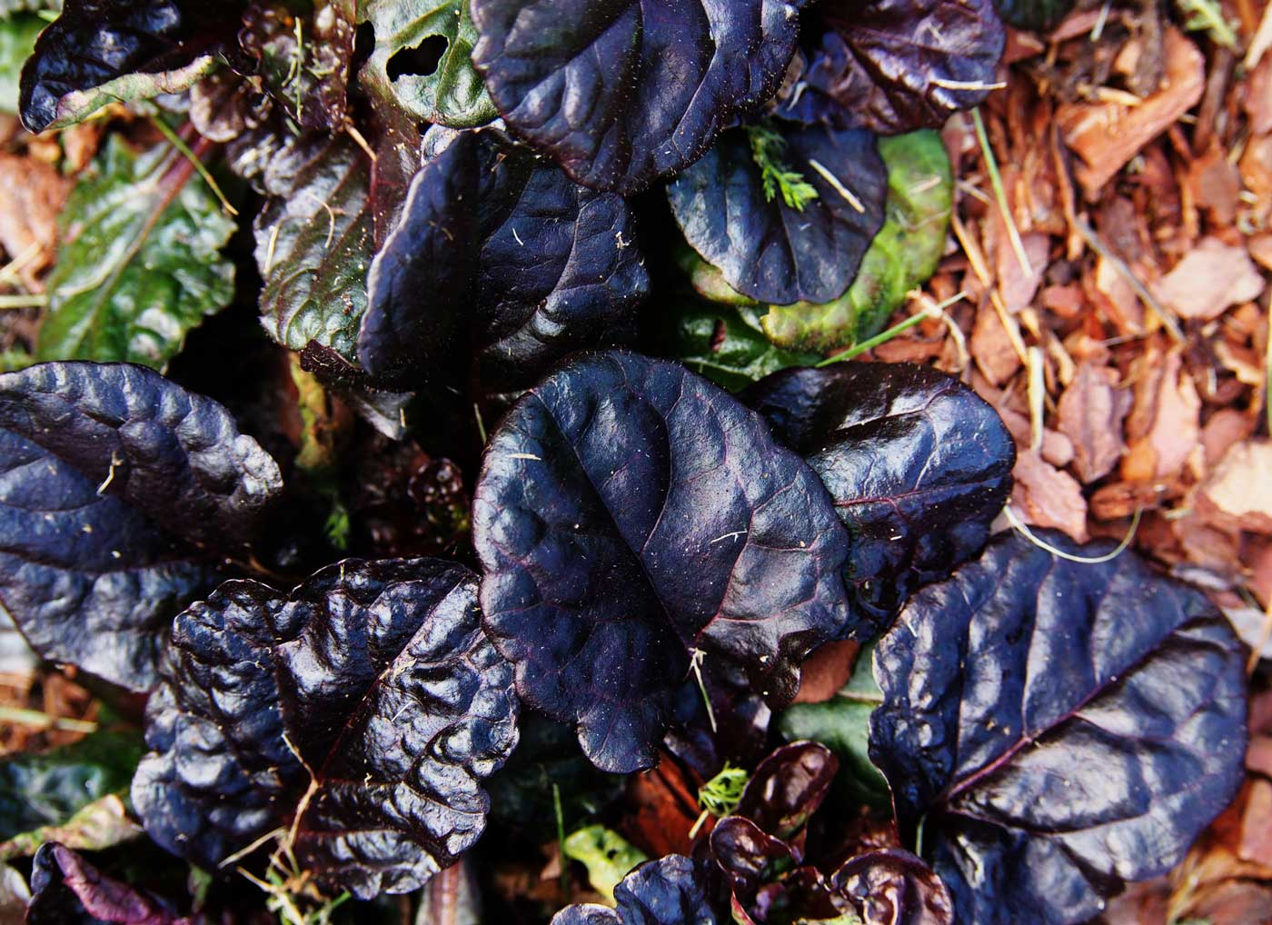 Best Ground Covers for Shade Ajuga - Longfield Gardens