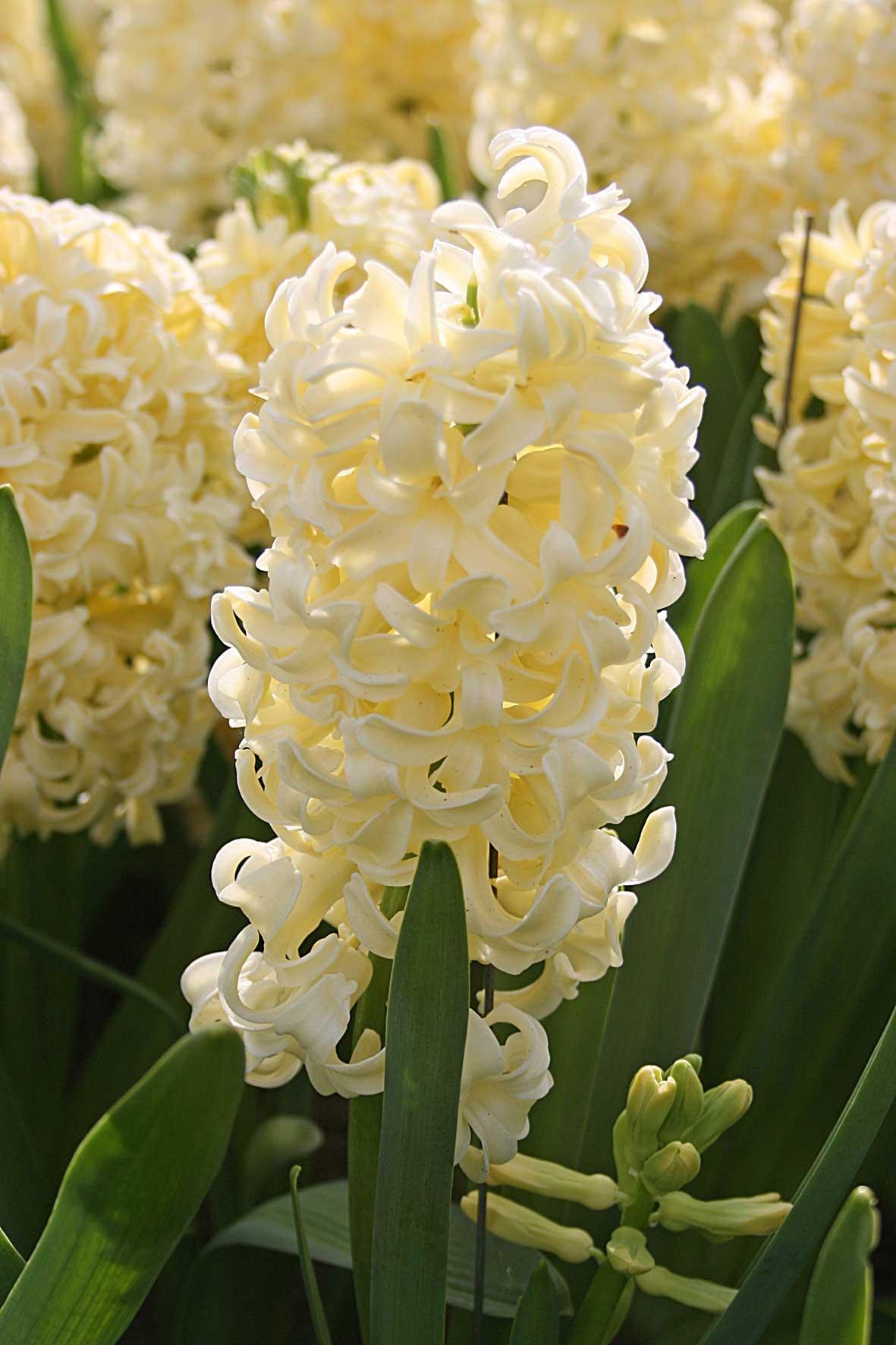 Spring Bulb Garden Hyacinth City-of-Haarlem - Longfield Gardens