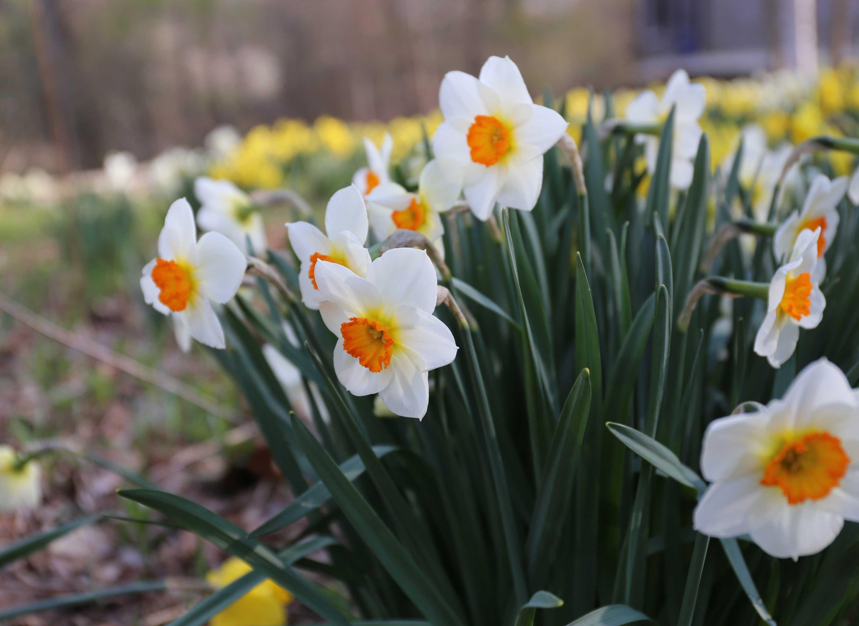 Spring Bulb Garden Daffodil Barrett Browning - Longfield Gardens
