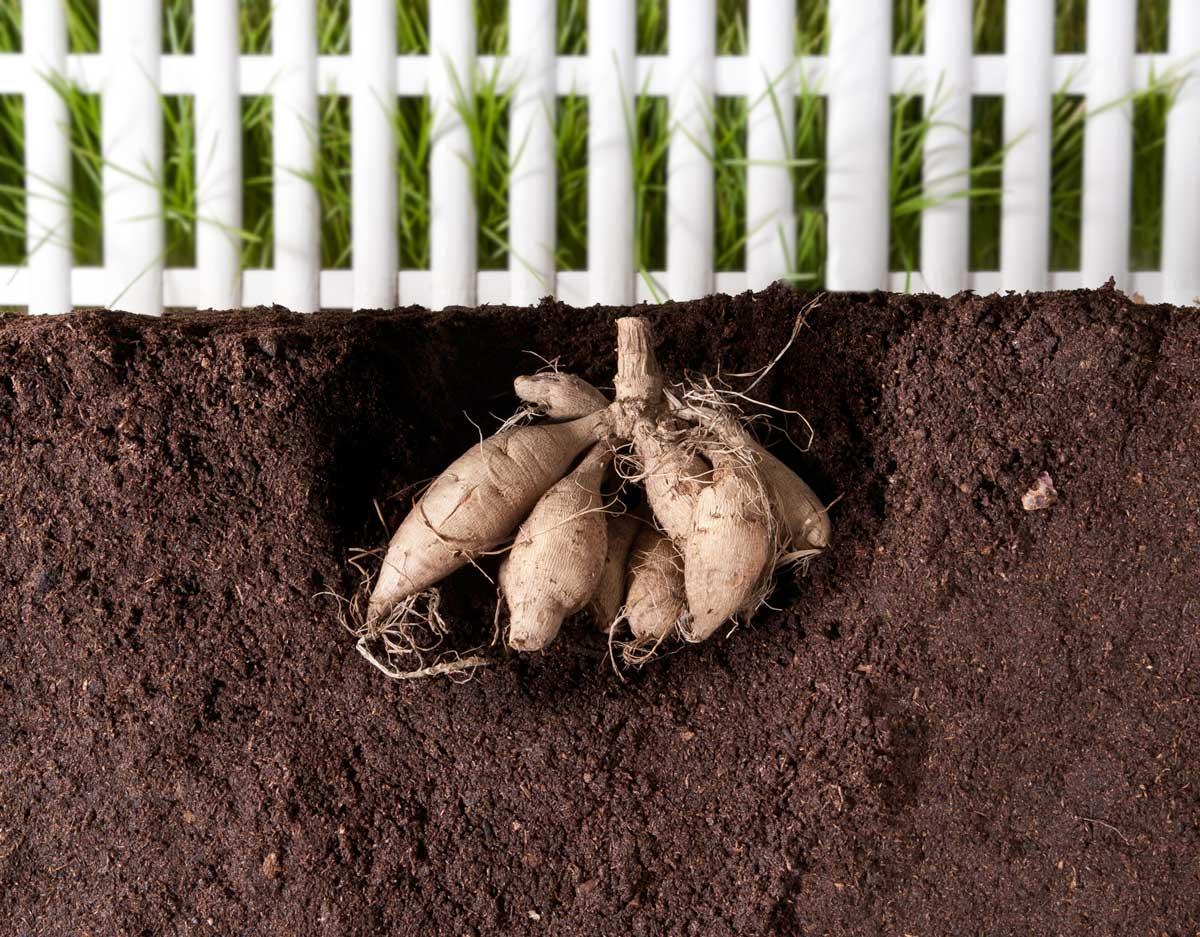 8 Tips for Growing Better Dahlias - Longfield Gardens