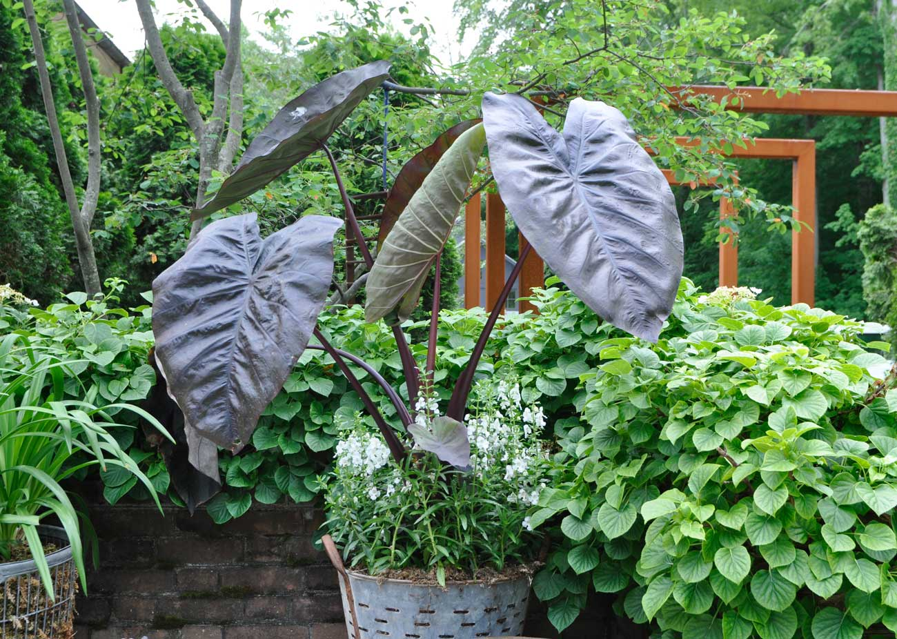 Container Gardens Colocasia Diamond Head - Longfield Gardens