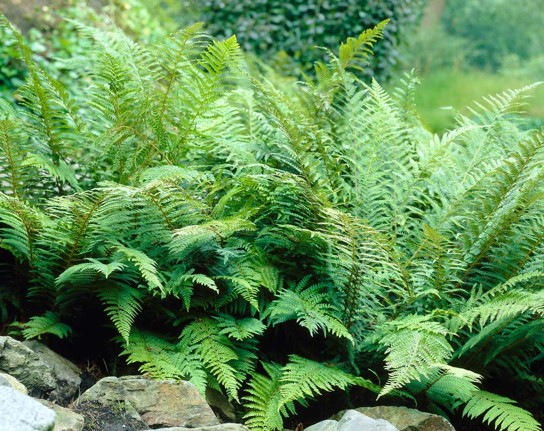 best ground covers for shade - ferns - Longfield Gardens