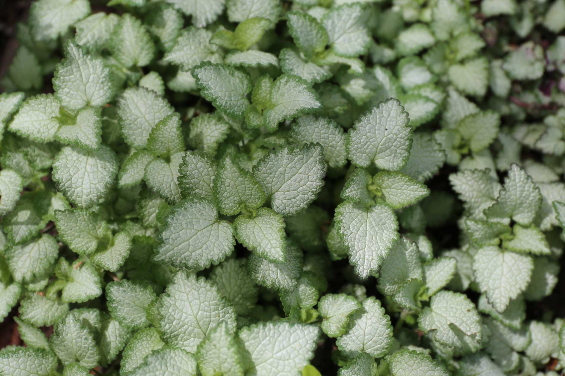 best ground covers for shade - lamium - Longfield Gardens