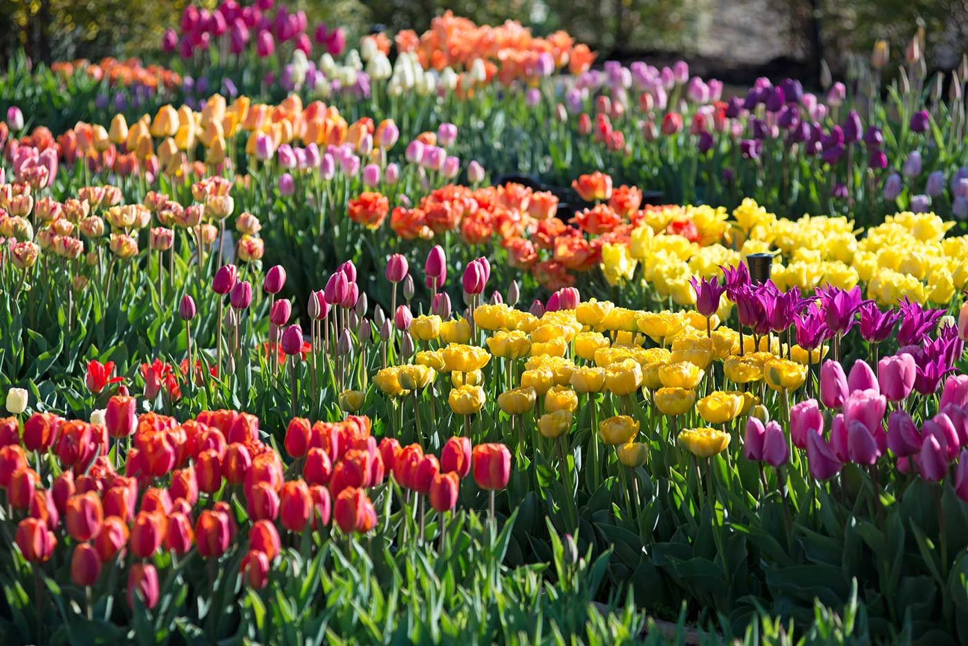 Spring Bulb Garden Tulips - Longfield Gardens