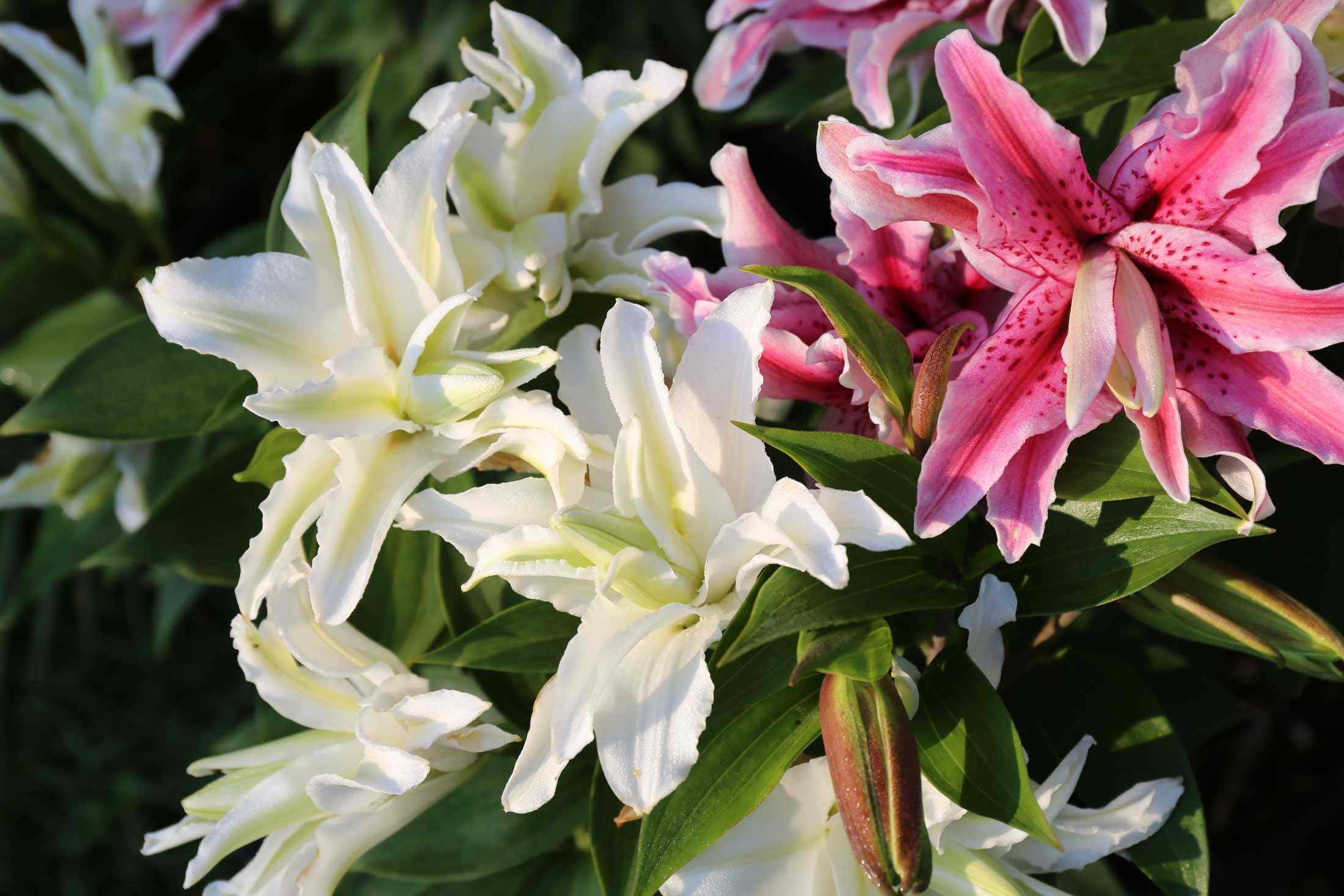 8-Tips-for-Growing-Lilies-6—Longfield-Gardens