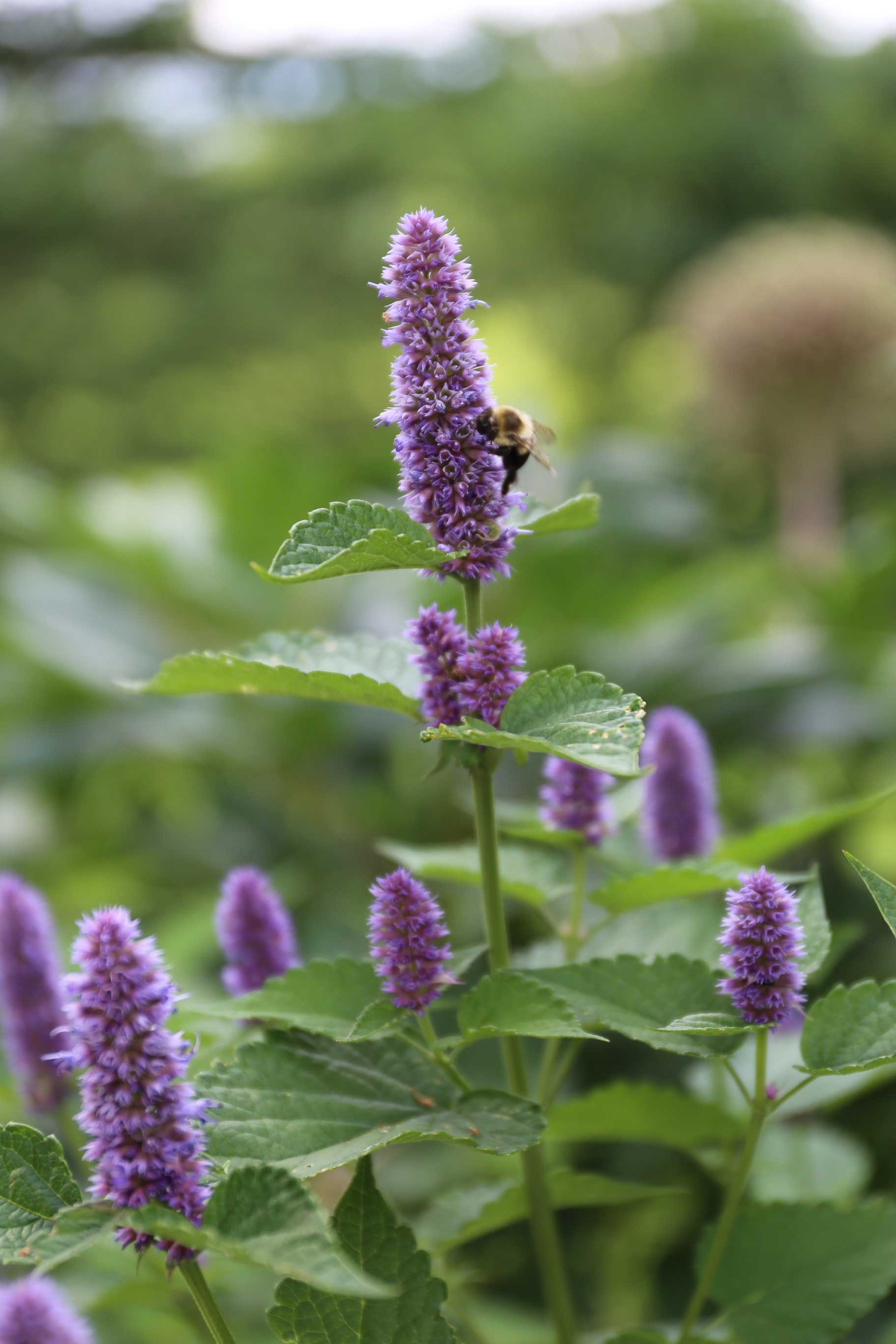 Agastache-with-Bee—Longfield-Gardens