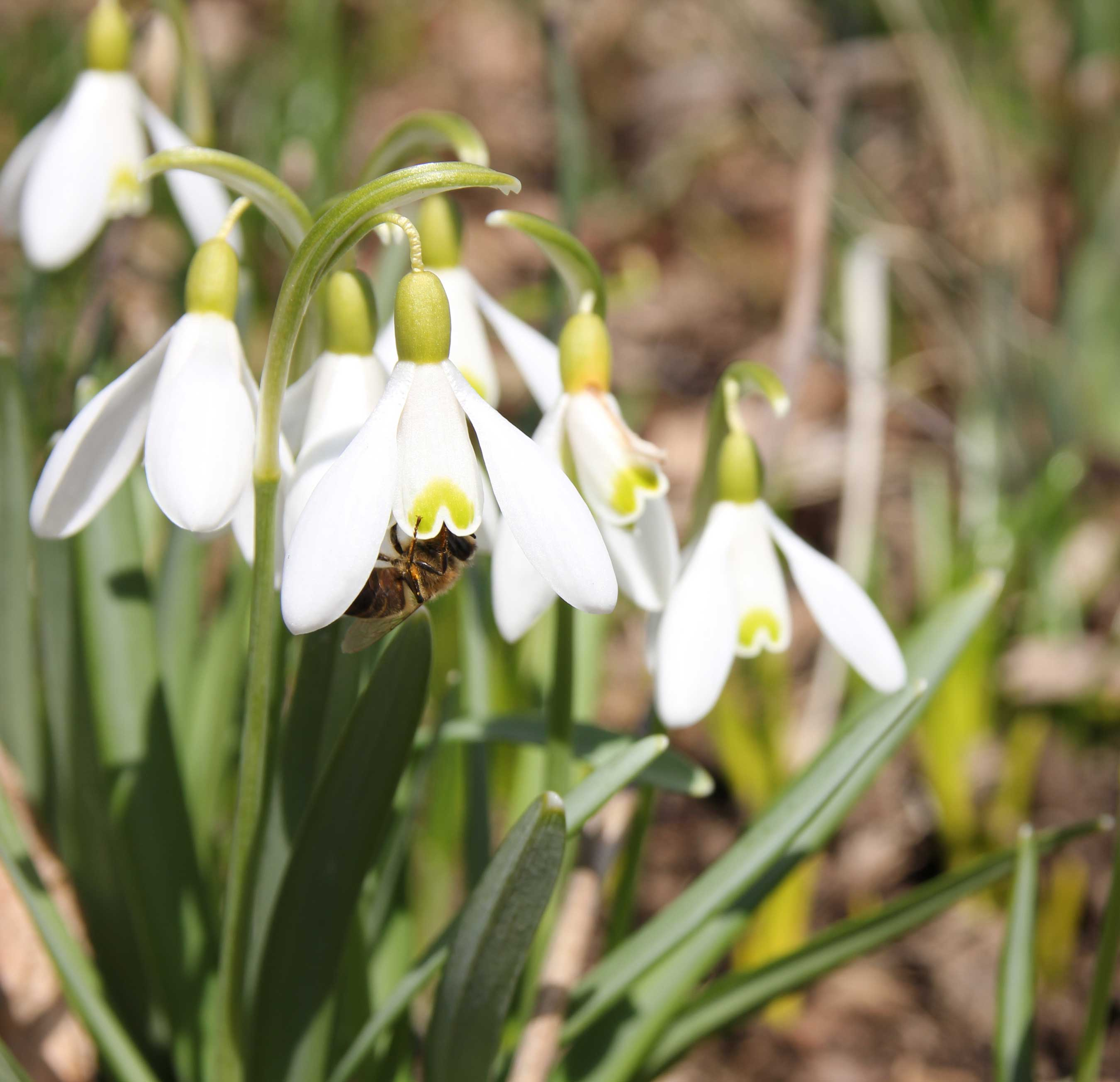 Bee-on-Snowdrops—Longfield-Gardens