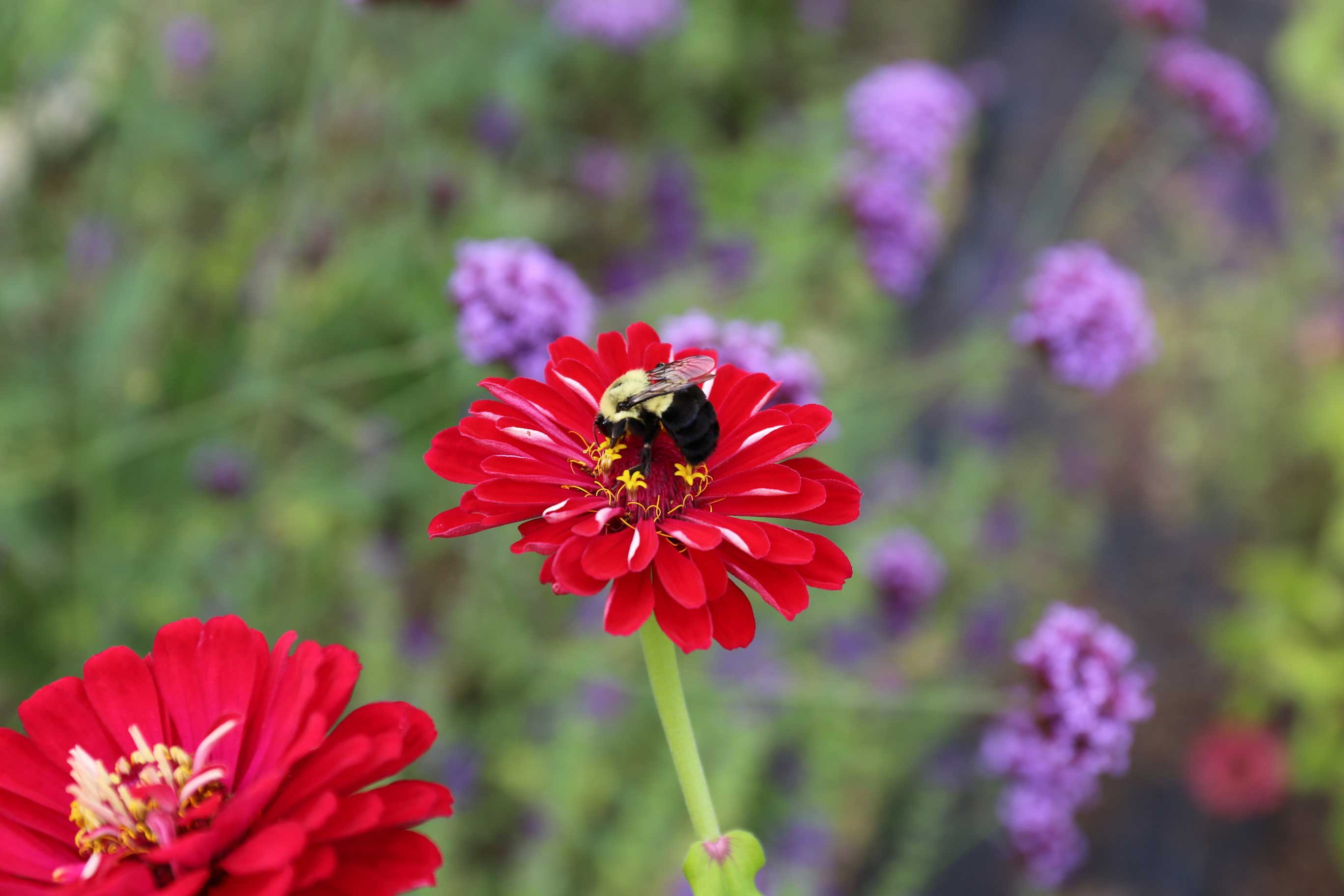 Red-Zinnia-with-Bumble-Bee—Longfield-Gardens