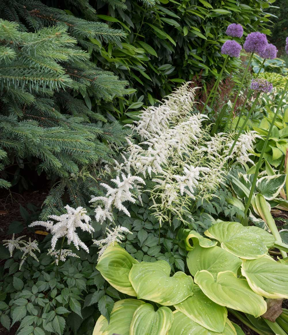 astilbe-best-companion-plants-for-hostas—longfield-gardens