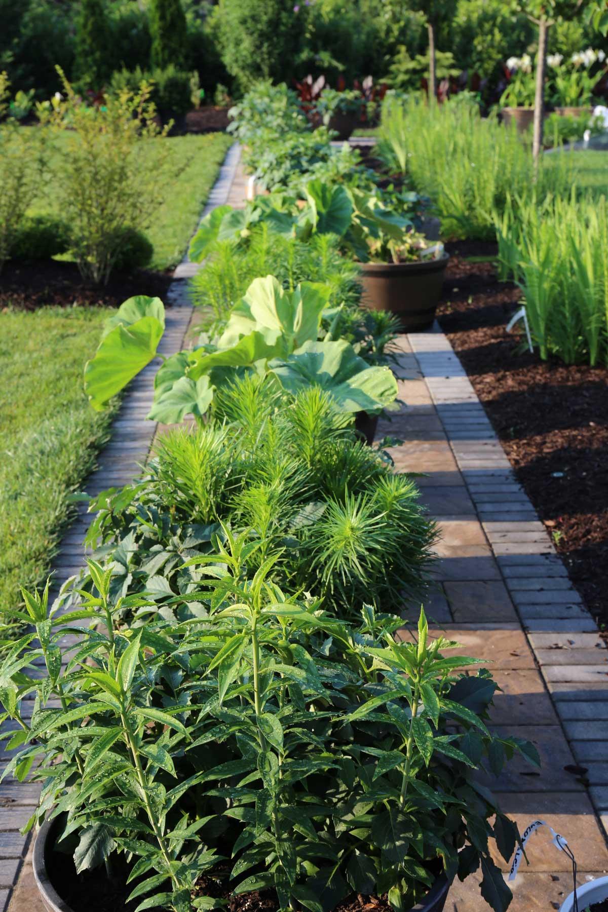Trial-Garden-Update Liatris and Elephant Ears - Longfield-Gardens