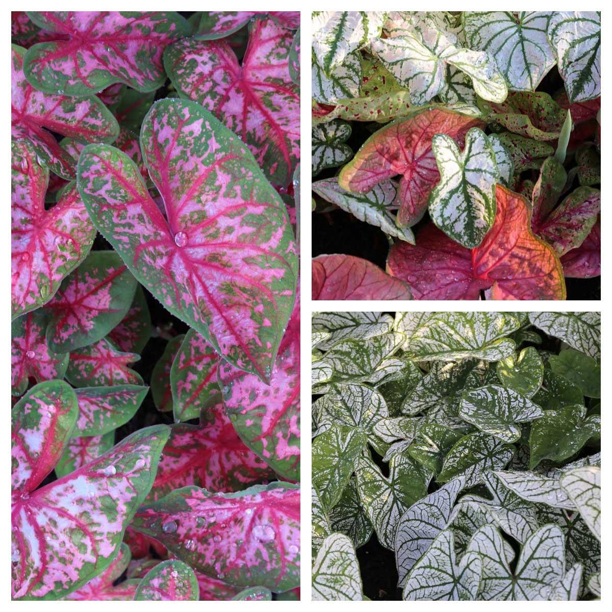 Trial Garden Update Caladiums - Longfield Gardens