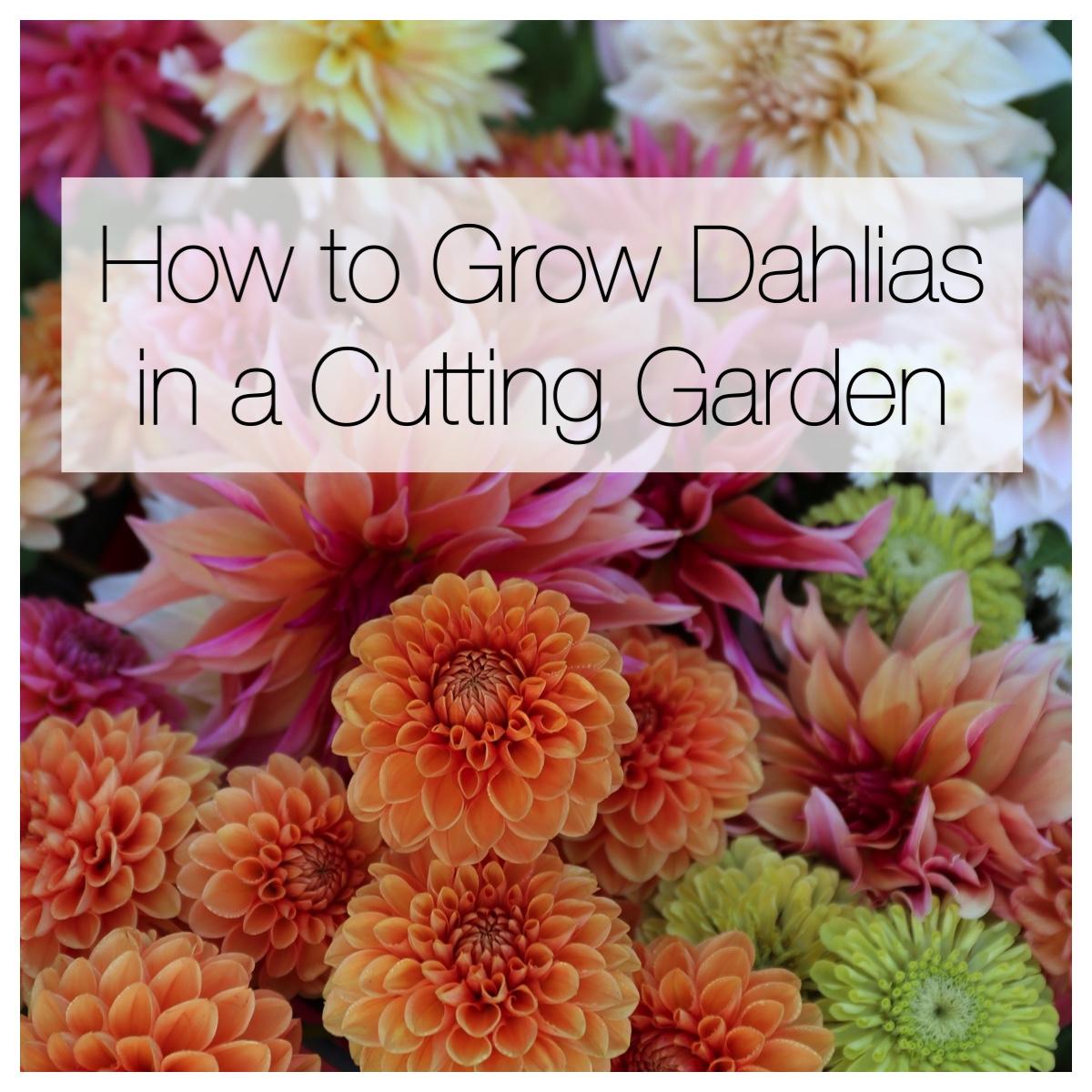 How to Grow Dahlias in a Cutting Garden - Longfield Gardens