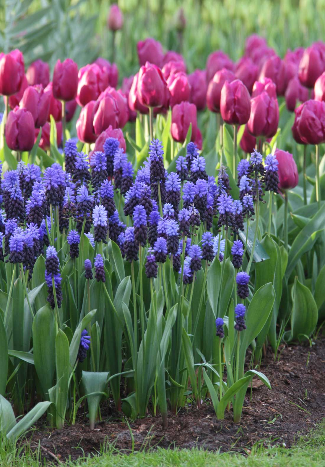 Muscari Perfect Partners for Spring Bulbs - Longfield Gardens