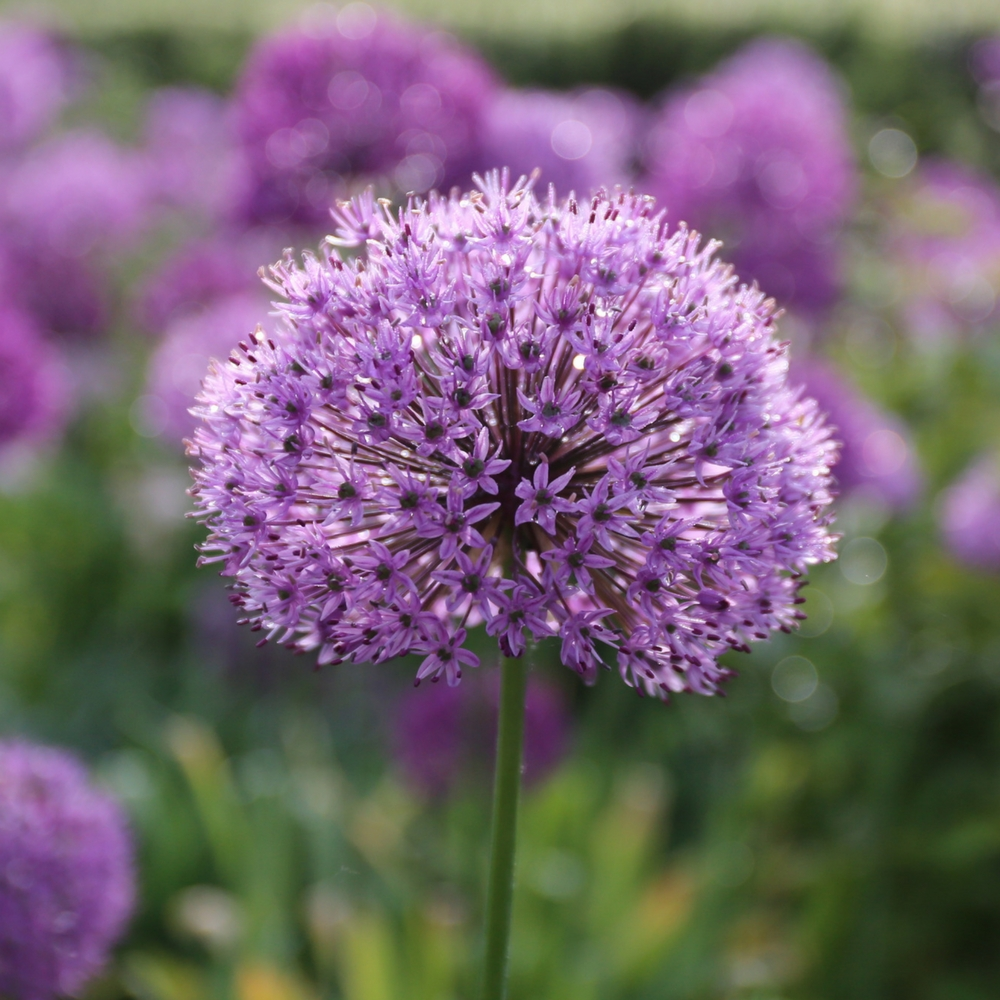 Staff Favorites for Fall Planting - Longfield Gardens