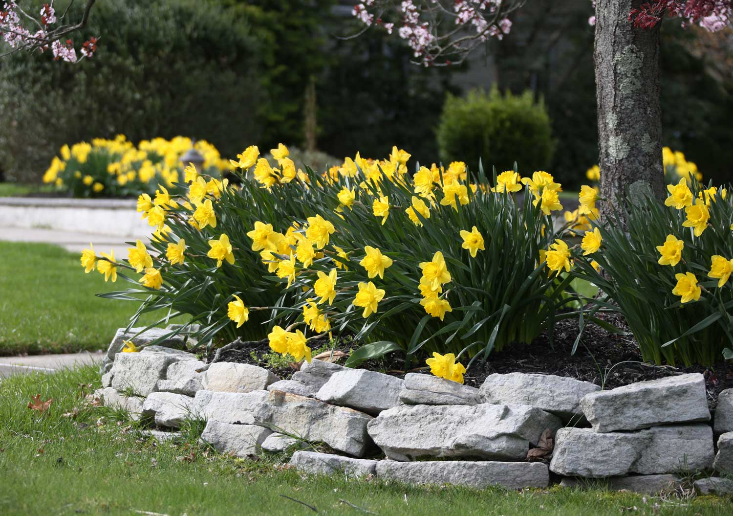There's Always Room for Daffodils-Longfield-Gardens