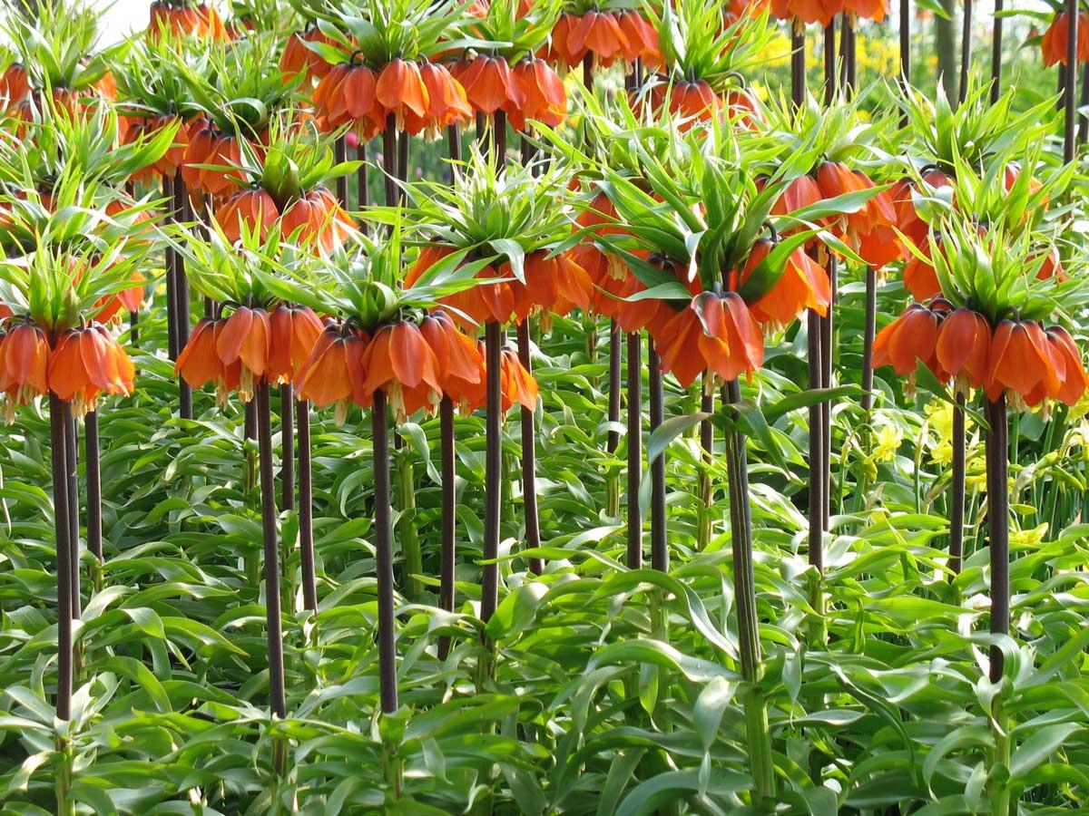 Fritillari-imperialis - Longfield Gardens