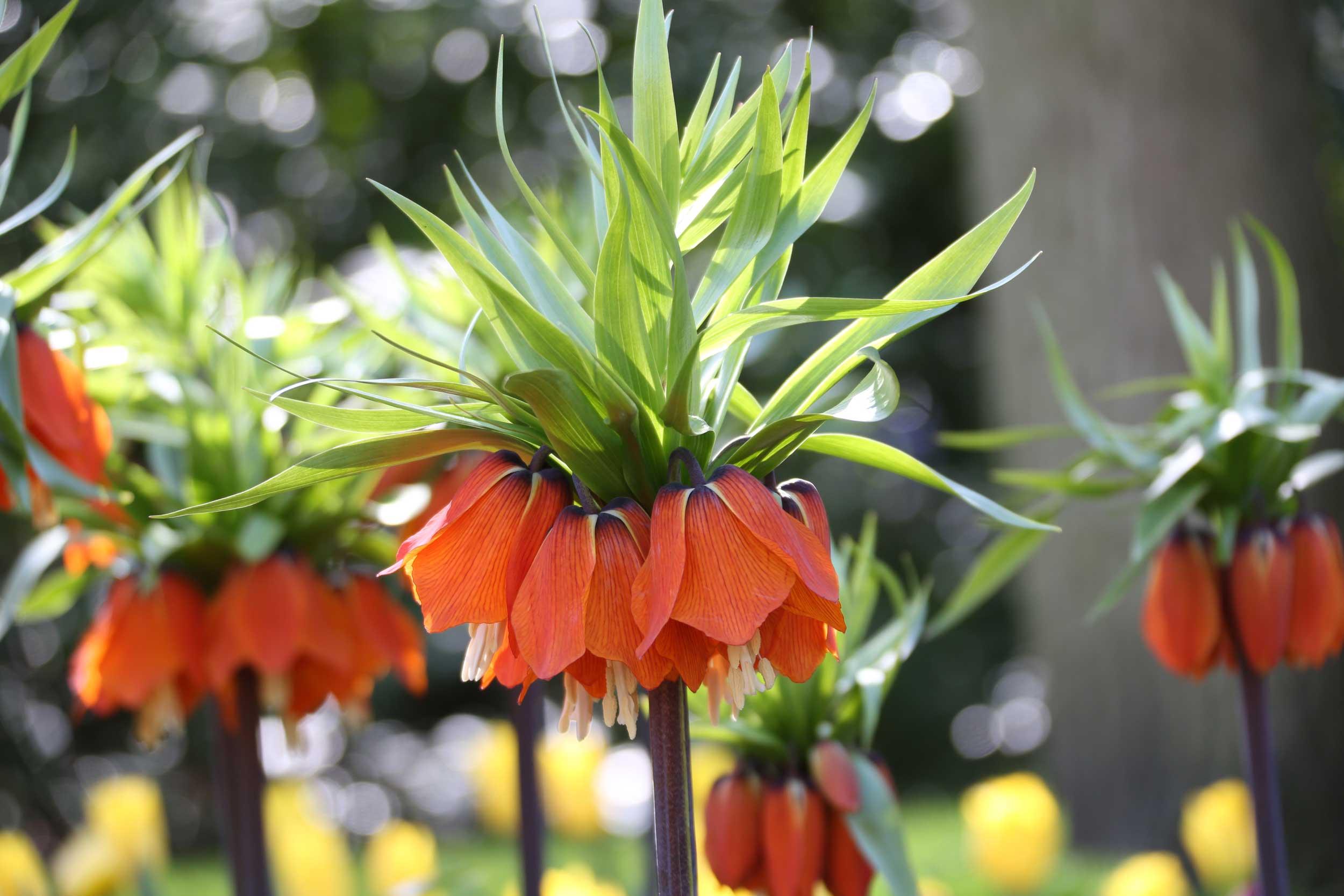 Fritillaria-imperialis-Longfield Gardens