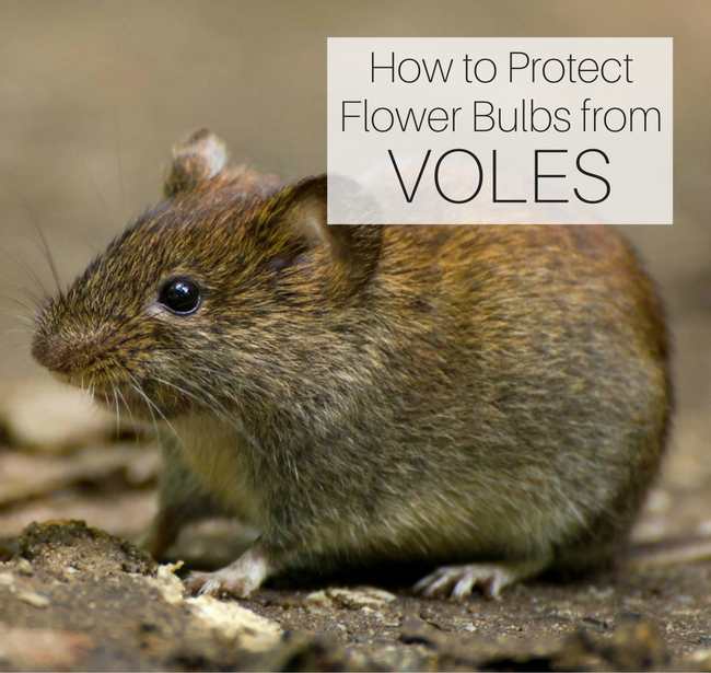 How to Protect Flower Bulbs from Voles - Longfield Gardens