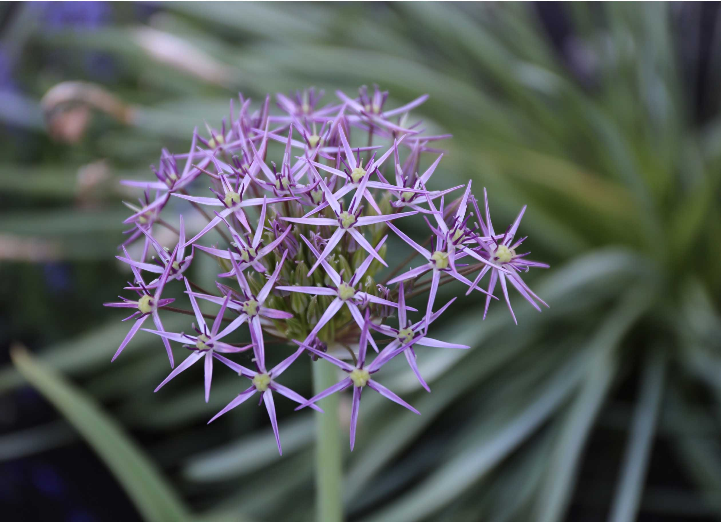 love alliums check out our new planning guide longfield. Black Bedroom Furniture Sets. Home Design Ideas