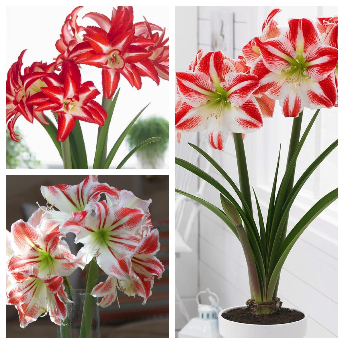 Amaryllis With a Difference - Longfield Gardens